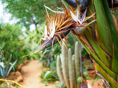 (elzauer) Tags: abstract agave aloe blossom botany bud cactus closeup decoration flower flowerhead greencolor leaf lushfoliage nature ornate outdoors pattern petal plant sand sharp spiked succulentplant textured thorn tropicalclimate tropicalflower sanvitolocapo provinceoftrapani italy