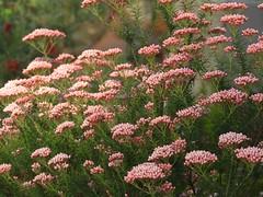 菊科 Ozothamnus diosmifolius 澳洲米花  Sago Flower, Rice Flower  新蜡菊屬 (Sheila's collection) Tags: asteraceae 菊科 australian native shrub