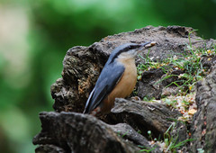 Nuthatch (Halliwell_Michael ## Offline mostlyl ##) Tags: brighouse westyorkshire nikond40x 2019 cromwellbottom nuthatch birds