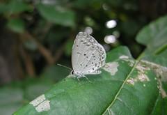 Holly Blue (Celastrina argiolus) (Rezamink) Tags: hollyblue celastrinaargiolus butterflies japan