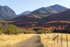Dirt Road Through a Golden Field (aaronrhawkins) Tags: dirt road fence dry grass golden fall color autumn tree leaves mountain ridge utah provo canyon southfork trail october orange red season aaronhawkins