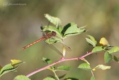 red dragonfly photoshoot 4 (photos4dreams) Tags: gersprenz münster hessen germany naturschutz nabu naturschutzgebiet photos4dreams p4d photos4dreamz nature river bach flus naherholung canoneos5dmark3 canoneos5dmarkiii herbst autumn sunshine sun sonnenschein sonne