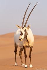 Arabian Oryx (Theo Busschau) Tags: oryx arabianoryx dubai uae unitedaribemirates wildlife wildlifephotography wilderness nature naturephotography ngc animal middleeast canon canon6d