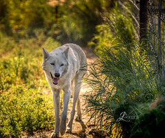 White Wolf (JuanJ) Tags: nikon d850 lightroom art bokeh lens light landscape happy naturephotography outside nature people white green red black pink skyportrait location architecture building city square squareformat instagramapp shot awesome supershot beauty cute new flickr amazing photo photograph fav favorite favs picture me explore interestingness friends dof sunset sky flower night tree flowers portrait fineart sun clouds alaskanwildlifeconservationcenter alaska wolf animal