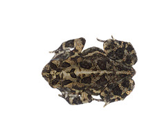 Southern Toad on white 2 (brian.magnier) Tags: wildlife animals nature outdoors florida fl usa white background meet your neighbors macro