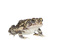 Southern Toad on white 3 (brian.magnier) Tags: wildlife animals nature outdoors florida fl usa white background meet your neighbors macro