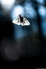 Pluie d'étoiles pour Apollon (JimDel Photographies) Tags: proxy photo proxyphotography papillon pralognan papillons prairie butterfly bokeh montagne moutains macro macrophotography savoie sweet sweetness silouhette étoiles
