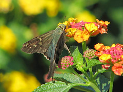 an October Long-tailed skipper in lantana (Vicki's Nature) Tags: longtailedskipper blue spots large skipper migrant lantana blossoms colorful flowers yellow orange buds ladyslippers georgia vickisnature canon s5 3108 pink