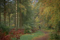 The Run...! (vincocamm) Tags: woods trees forest beaconedge track colours autumn gold brown green jogger runner dog morning october cumbria leaves