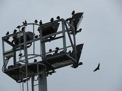 IMG_1702 (jesust793) Tags: estorninos pájaros birds naturaleza nature