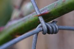Fence with thorn (markus_kaeppeli) Tags: macromondays wire hmm