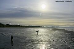 morning has broken (RCB4J) Tags: sony sony18250mmf3563dtaf sonyslta77v ayrshire ayrshirecoast art babygrace dobermanterrier digitalphotography dog dogwalkadventures dogwalkingadventures dogwalkingphotography dogs beach firthofclyde gailes happydog jakob irvinebeach morning on1 on1pics on1photoraw2019 rcb4j ronniebarron sand running sea scotland sonyalpha sunlight sunshine trailhound trailie contrejour silhouette