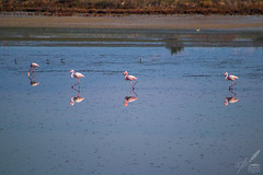 Three Marching Flamingos & One Hungry (ioannis_papachristos) Tags: flamingos flamingo birds reflection reflect biology lagoon water surface pollution kalochori thessalonike thessaloniki salonica phoenicopterus roseus species ornithology habitat industrial polluted wetland flamingoes greece macedonia industrialzone industrialarea urban delta river axios gallikos largecity town unexpected surprising nature wildlife canon mirrorless eosm50 telephotolens papachristos fall autumn october science sunnyday day outdoors nopeople life living being wading walking hurry hastily marching parading row color pink juxtaposition