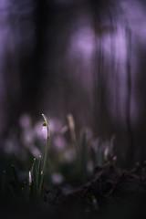 Les grandes ombres... (bulledenature62) Tags: des fleurs flowers perce neige clochette sousbois reflex62 deniscoeurphotographe62 photographe nature photographenature pasdecalais hautsdefrance