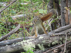 Red Squirrel 2019 (mtnflyer3) Tags: squirrel redsquirrel rodent alberta wildlife boreal borealforest forest blueberry