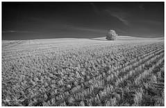 Harvest Remnants (SpacePaparazzi.com) Tags: ir infraredimages infraredglobal bw travelalberta alberta albertatourism prairie harvest tree httpsspacepaparazzicom canon canon5dmii irix