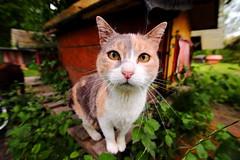 Fela (Elisa Medeot) Tags: cats gatto animals animali natura portrait ritratto canon
