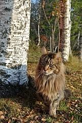 Høst (KvikneFoto) Tags: nikon1j2 høst autumn fall katt cat elvis
