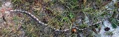 Rat snake (readerwalker) Tags: snakes ratsnake