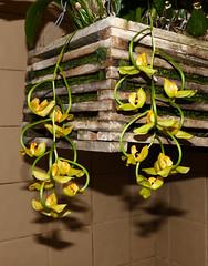 Gongora galeata var. luteola species orchid (nolehace) Tags: gongora galeata var luteola species orchid 1019 fragrant flower bloom plant fall nolehace sanfrancisco fz1000
