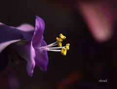 Golden Beauty Of Purple Heart Flower (Sheuli Hossain) Tags: flower purpleheartflower nature macro