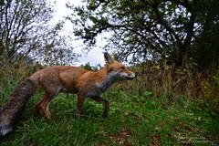 La pose (gil streichert) Tags: zorro volpe fox parco nazionale abruzzo italia renard roux