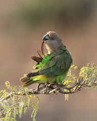 Brown-headed Parrot (leendert3) Tags: leonmolenaar southafrica krugernationalpark wildlife wilderness wildanimal nature naturereserve naturalhabitat birds parrot brownheadedparrot ngc