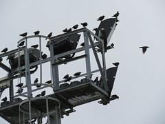 IMG_1694 (jesust793) Tags: estorninos pájaros birds naturaleza nature