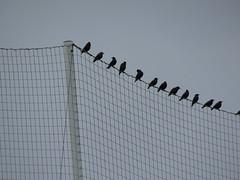 IMG_1709 (jesust793) Tags: estorninos pájaros birds naturaleza nature