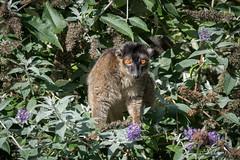 Lémur brun (Eulemur fulvus) (Dicksy93) Tags: dsc02926 lémur brun eulemurfulvus animal faune mammifère lémurien primate nature fleur flore eep zooparc animalier trégomeur côtes darmor 22 france bretagne breizh bzh brittany europe dicksy93 catherine olivier sony dscrx10m4 24600mm f2440 e