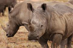 White Rhino Family (DeniseKImages) Tags: wildlife africa rhinoceros rhino rhinos whiterhinoceros whiterhino whiterhinos grass southafrica nature wild animal animals wildanimals wildanimal bigfive