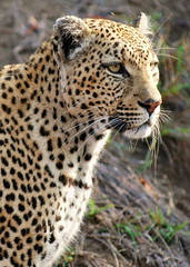 Morning Reconnaissance (DeniseKImages) Tags: wildlife africa cat leopard leopards spot spots southafrica nature wild animal animals wildanimals wildanimal bigfive