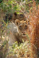 A Lioness's Piercing Gaze (DeniseKImages) Tags: wildlife africa cat lion lions lioness lionesses grass southafrica nature wild animal animals wildanimals wildanimal bigfive