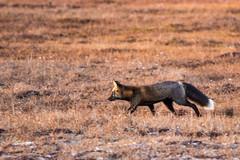 Cross Fox on the Prowl (Dan King Alaskan Photography) Tags: redfox crossfox fox vulpesvulpes predator hunting prowl arctic northslope alaska protectwildlife preservewilderness canon80d sigma150600mm wildlife tundra