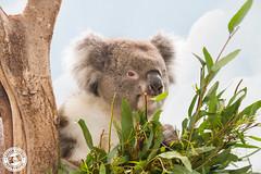 Koala @ Longleat (Lauren Tucker Photography) Tags: animal mammal koala wiltshire longleat camera slr canon markii copyright colour photography photo photographer image picture pic photograph 7d 100400mm allrightsreserved 2019 ©laurentuckerphotography uk wild summer england west macro bird nature closeup wildlife south safari