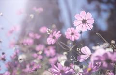 波斯菊/台中 (Changyou Lee) Tags: taiwan 波斯菊 花 taichung 台灣 台中 福壽山 梨山 中橫 逆光 flower