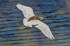 Squacco Heron - Papa-ratos (anpena) Tags: birds birdphotography herons birdsinflight squaccoheron