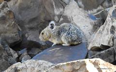 Pika (pamfromcalgary) Tags: rodent pika animal kananaskis rockrabbit pamhawkes