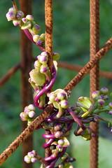 Rust&plant (evisdotter) Tags: rust rost plant växt macro bokeh sooc light rödmalabarspenat malabarspinach basellarubra