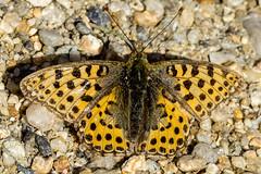 Kleiner Perlmutterfalter (Issoria lathonia) (1) (naturgucker.de) Tags: ngid1722798435 issorialathonia kleinerperlmutterfalter