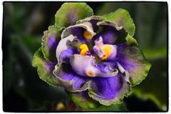 AV-Kuporos - African violet (Adam Nowak) Tags: petals violets color flowers leaves buds hair saintpaulia africa