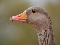 Greylag goose (PhotoLoonie) Tags: greylaggoose goose bird waterbird wildlife nature portrait