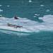 2019 - HAL Alaska Cruise - 32 - Glacier Bay - 7 - Tarr Inlet Sea Lions