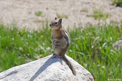 Golden-mantled Ground Squirrel (bug-in-my-eye) Tags: mammalia rodentia sciuridae
