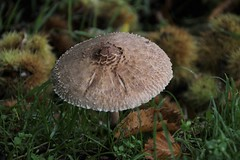 Guess who's coming to dinner? (Andrew 62) Tags: parasol macrolepiotaprocera sweetchestnuts autumn grass leaves raindrops fungi