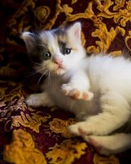 20170903_4351d (Fantasyfan.) Tags: turkish van kitten ruska kuunkissan fantasyfanin