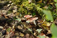 poisonous 🍄 (lozinka_gergova) Tags: mushrooms poisonousmushrooms forest forestlife rogiefalls rossshire scotland sco highlands nature scenery naturephotography nikonlens nikon nikond610 nikonphotography photography amateurophotography
