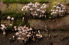 An entire Smurfs village (MARJOLEINTHIJSE.com) Tags: houten utrecht netherlands smurfs mushrooms nature