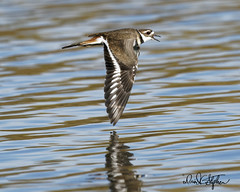 "Can You Hear It Saying, ""Kill Deer, Kill Deer?"" (dcstep) Tags: fe600mmf4gmoss sonya9 colorado cherrycreekstatepark handheld allrightsreserved copyright2019davidcstephens dxophotolab killdeer bird birdinflight bif birds dsc9808dxo"