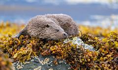 Otter (Chas Moonie-Wild Photography) Tags: otter wild sea loch scotland mammal
